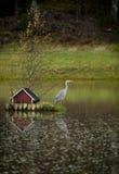 灰色苍鹭, Ardea灰质2 库存图片