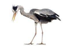 灰色苍鹭翻倒的侧视图,拍动它的翼 库存图片