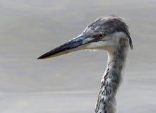 灰色苍鹭(少年) 免版税图库摄影