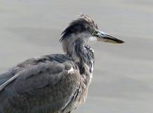 灰色苍鹭(少年) 免版税库存照片