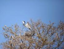 灰色苍鹭(灰质的Ardea) 免版税库存图片