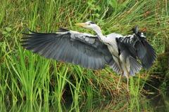 灰色苍鹭(灰质的Ardea) 免版税图库摄影