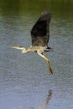 灰色苍鹭(灰质的Ardea) 免版税库存照片