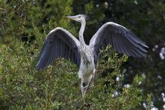 灰色苍鹭-灰质的Ardea 免版税库存图片