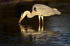 灰色苍鹭水 库存照片