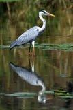 灰色苍鹭 库存图片
