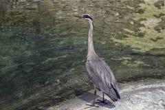 灰色苍鹭 免版税库存照片