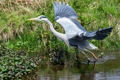 灰色苍鹭Ardea灰质的采取的飞行 免版税库存图片