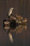 灰色苍鹭Ardea灰质和两只鸭子 库存照片