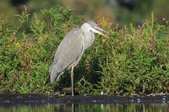 灰色苍鹭Ardea灰质的狩猎鱼 免版税库存照片