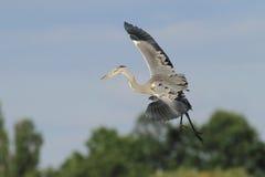 灰色苍鹭Ardea灰质的飞行 免版税库存图片