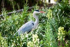 灰色苍鹭Ardea灰质的鸟 免版税图库摄影
