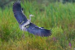 灰色苍鹭Ardea画象灰质在着陆期间 免版税库存图片