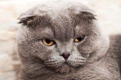灰色苏格兰人被折叠的猫 免版税图库摄影