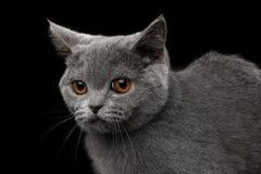 灰色英国小猫特写镜头画象在被隔绝的黑背景的 库存图片