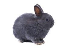 灰色蓬松矮小的兔子坐白色背景 查出 免版税图库摄影