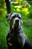 灰色藤茎Corso狗在森林里在德国 免版税库存照片