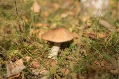 灰色蘑菇在森林沼地 免版税库存图片