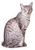 灰色虎斑猫 免版税库存照片
