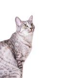 灰色虎斑猫 免版税图库摄影