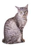 灰色虎斑猫 免版税库存图片