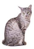灰色虎斑猫 库存图片