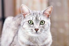 灰色虎斑猫 图库摄影