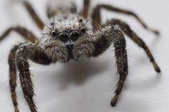 灰色蜘蛛 库存图片