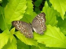 灰色蝴蝶花 库存图片