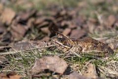 灰色蟾蜍坐在秋叶的草并且取暖在阳光下 列宁格勒地区,储备 免版税库存图片