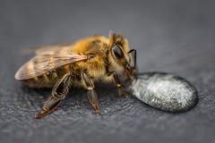 灰色表面上的喝蜂蜜下落为的一只蜂的宏观图象 免版税库存照片