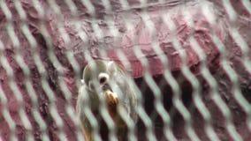 灰色被加冠的中美洲松鼠猴子松鼠猴属oerstedii citrinellus 影视素材