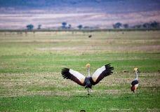 灰色被加冠的起重机。 乌干达的国家鸟 免版税图库摄影