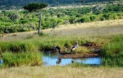 灰色被加冠的起重机在肯尼亚,非洲 库存图片