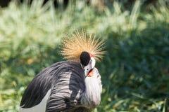 灰色被加冠的起重机在马蓬古布韦国家公园,林波波河,南非 免版税库存图片