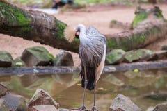灰色被加冠的起重机异乎寻常的鸟在巴西 图库摄影