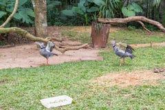 灰色被加冠的起重机异乎寻常的鸟在巴西 库存图片