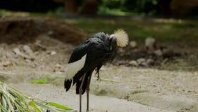 灰色被加冠的起重机鸟清洗身体 影视素材