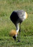 灰色被加冠的起重机,安博塞利国家公园,肯尼亚 库存照片