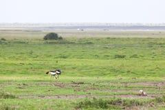 灰色被加冠的起重机,肯尼亚 免版税库存图片