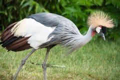 灰色被加冠的起重机(Balearica regulorum)是在起重机家庭Gruidae的一只鸟。 免版税库存照片