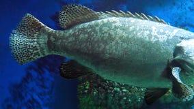 灰色被察觉的石斑鱼 股票录像