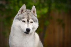 灰色西伯利亚爱斯基摩人狗微笑的画象 免版税图库摄影