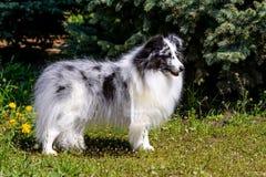 灰色设德蓝群岛牧羊犬 免版税库存图片