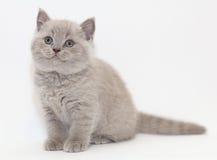 灰色逗人喜爱的滑稽的小的小猫英国 库存照片