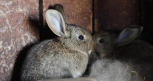 灰色野兔在他们的木房子录影4k里 影视素材
