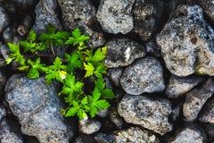 灰色锋利的参差不齐的石头纹理与绿色植物的有白花的 库存图片