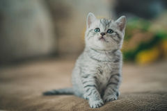 灰色镶边小猫 库存照片