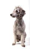 灰色长卷毛狗 免版税图库摄影