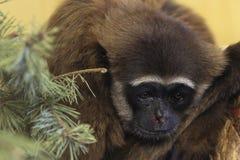 灰色长臂猿 库存照片